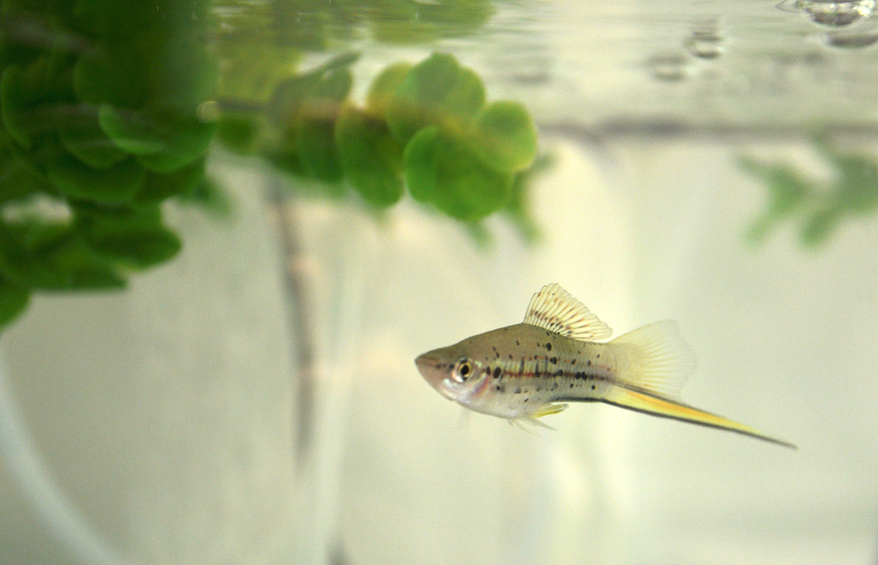 Male green swordtail