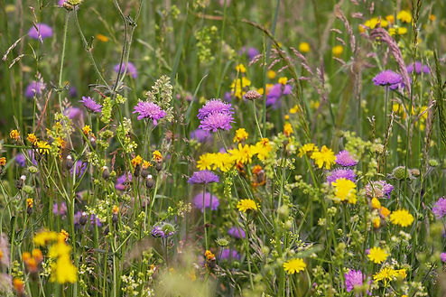 wild-flower-meadow-3386014_1920.jpg