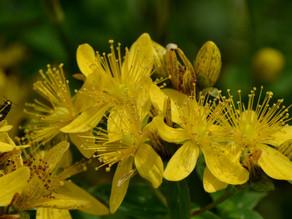 Le millepertuis (Hypericum perforatum, herbe de la Saint-Jean, herbe à mille trous, chasse-diable)