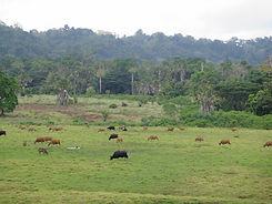 image of banteng in field