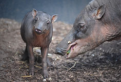 mother and baby babirusa