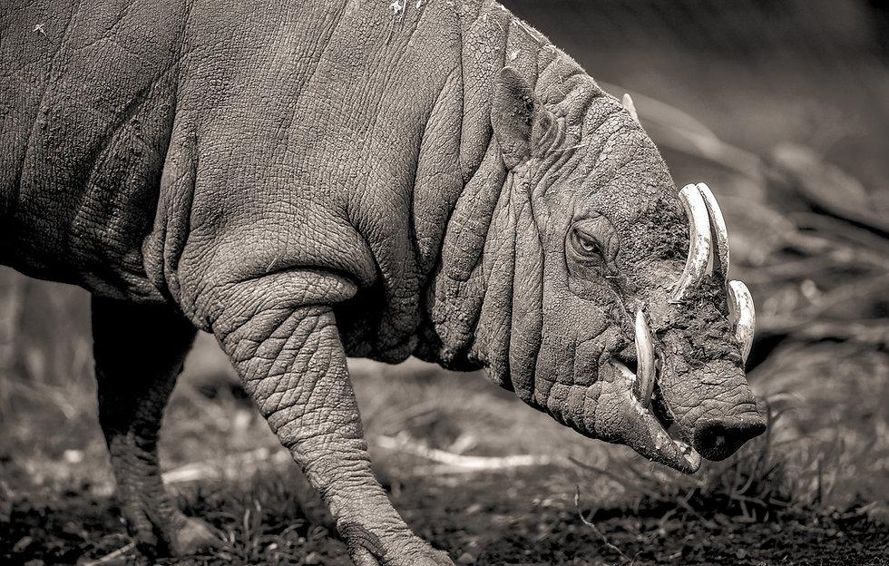 Black and white photo of babirusa