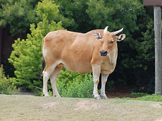 banteng standing in front of trees