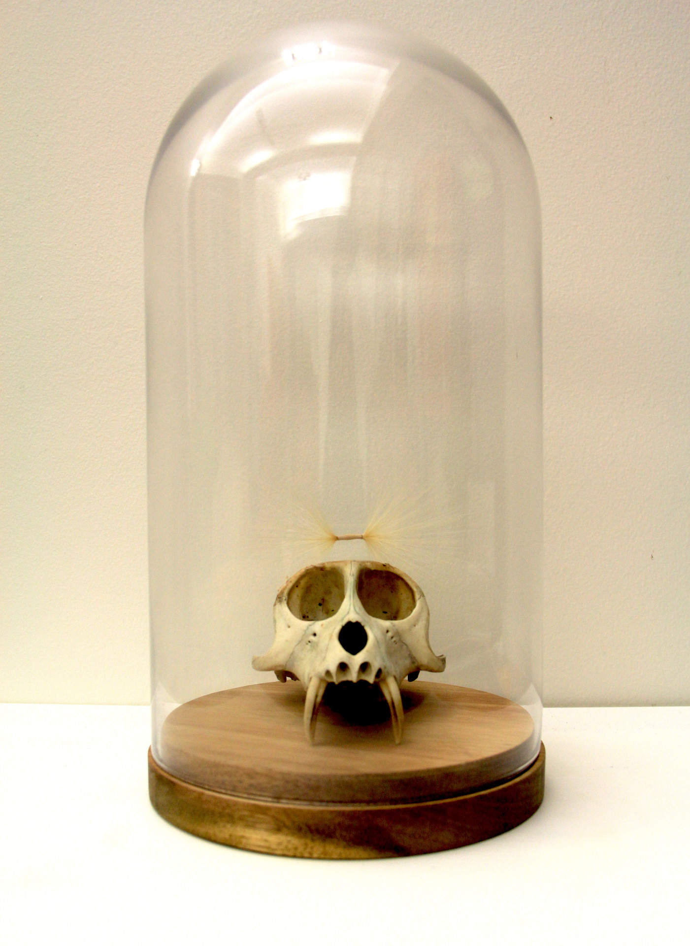 Macaque skull from Mimaland