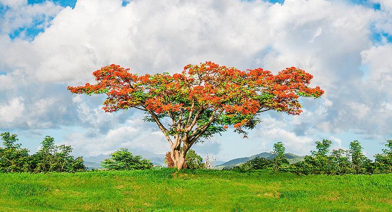 Flamboyán | Caguas, Puerto Rico