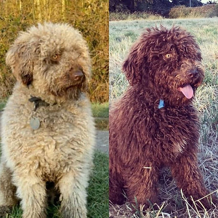 Spanish Water Dog Fading Gene