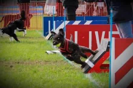 Kiki, a Spanish Water Dog competing in Flyball