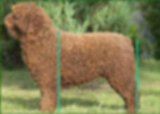 Spanish Water Dog Correct Hindquarters