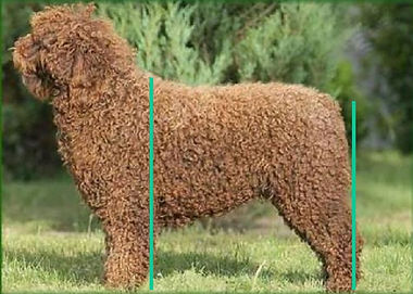 Spanish Water Dog Correct Hindquarters