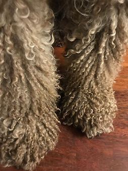 Spanish Water Dog adult cords