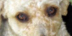 Spanish Water Dog Eyes