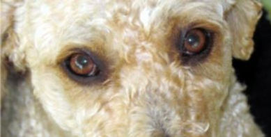 Spanish Water Dog Eyes