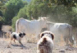Spanish Water Dog herding