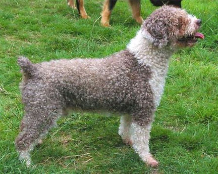 Spanish Water Dog Neck - Short and Muscular