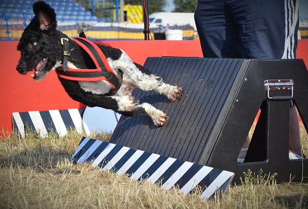 Lulu, a Spanish Water Dog competing in flyball doing a box turn