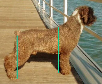 Spanish Water Dog over angulated Hindquarters