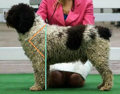 Spanish Water Dog Forequarters