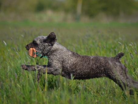Gundog Working Test for Minority Spaniels