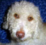 Spanish Water Dog - an incorectexample o the head and skull ratio which should be 2:3 fromnose to stop and stop to occiput respectively.