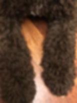 Spanish Water Dog Puppy Coat