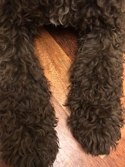 Spanish Water Dog Puppy Coat