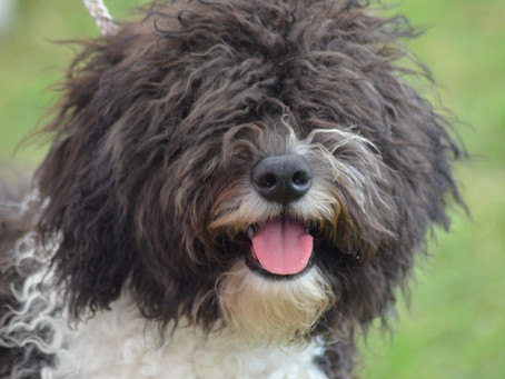 Welcome to the Spanish Water Dog Club Blog!