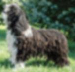 Spanish Water Dog in Rustic Coat