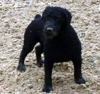 Spanish Water Dog incorrect forequarters