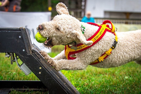 Ted, A Spanish Water Dog competing in Flyball