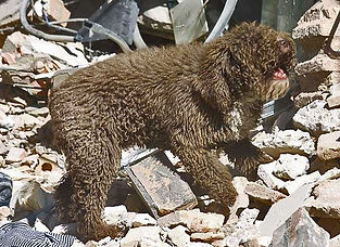 Spanish Water Dog notifying it has found survivors from an earthquake.