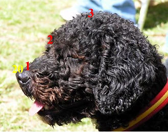 Spanish Water Dog Head & Skull proportions, nose to stop and stop to occiput are in a ration of 2:3