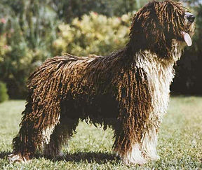Spanish Water Dog in Rustic Coat