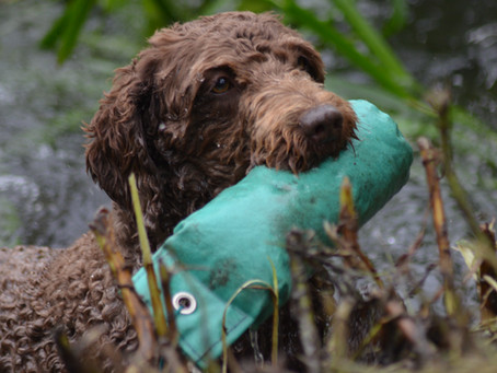 The Results are in!! Highlights from the Gundog Working Test