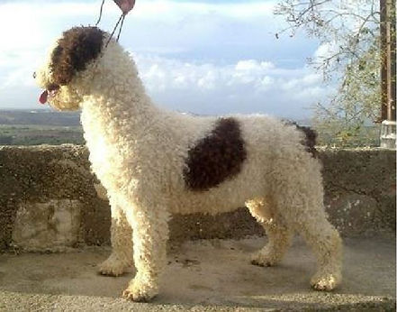 Spanish Water Dog Neck - Slightly elongated to that required of the breed standard