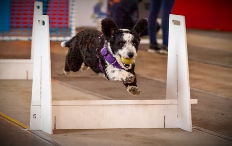 Dexie A spanish Water Dog racing in Flyball