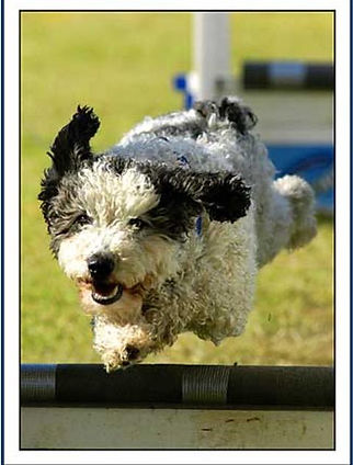 Bonita, one of the UK's first Spanish Water Dogs to compete in flyball