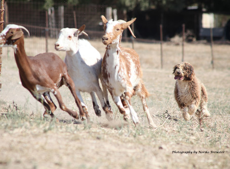 Arousal... more than just a 'Herding Trait'?