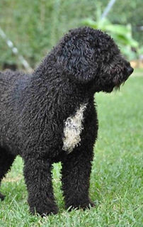 Spanish WaterDog Corrent Forequaters