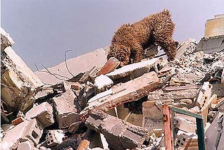 Spanish Water Dog seaching in an earthquake for survivors