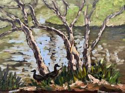 Murray River Ducks