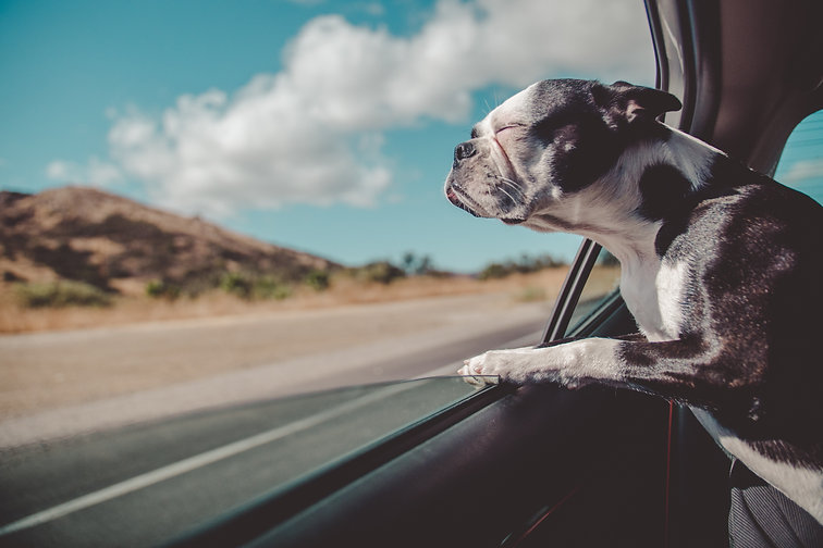 Dog looks out window in glory from saving on auto insuance.