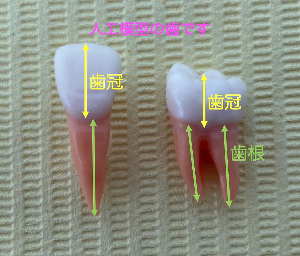 歯は歯冠と歯根に分けられます。これは前歯だけでなく小臼歯や大臼歯も一緒です。
