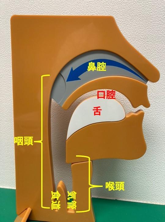 喉頭粘膜浮腫は喉頭と呼ばれるのどの部分が腫れ膨らんでしまう状態です。空気の通り道になるため、膨らみが大きいと窒息の危険性もあります。シダキュアなどの舌下免疫療法の処方中に抜歯や歯周外科等の血が出るような治療を行うと発生する恐れがあります。