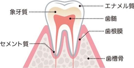 歯は歯冠はエナメル質、歯根はセメント質で構成されています。その内部は象牙質になっており歯髄とよばれる歯の神経や血管の入っている部屋を保護しています。