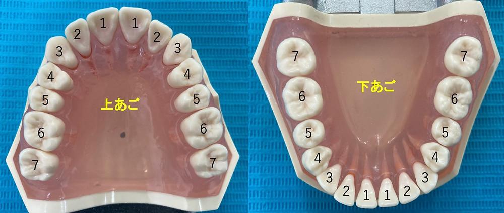 ヒトの歯は親知らずを除いて上あごに14本、下あごに14本、合計で28本あります。