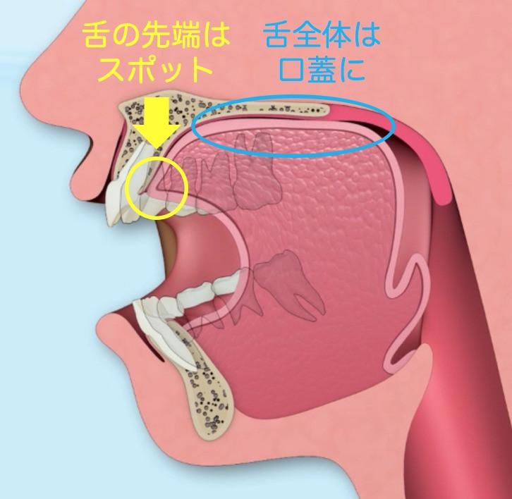 舌は上顎前歯の口蓋側の付け根部分にある「スポット」とよばれる膨隆に舌尖がつき、舌全体が口蓋に挙上してついています。