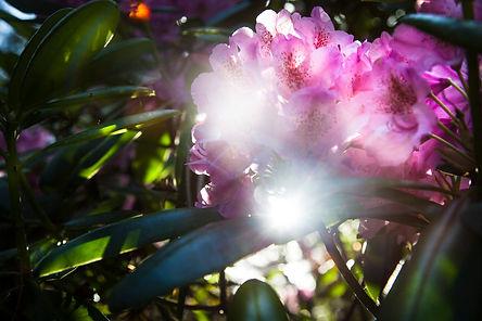 rhododendrum.jpg