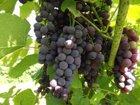 priam-vineyards-grapes.jpg