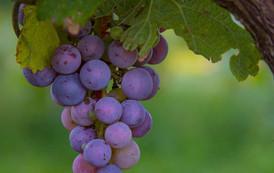lush-grapes.jpg