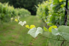 vine-visit-our-vineyard.jpg